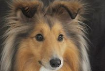 Shetland Sheepdog / I have one and it's a lovely and fun little ball of energy!!! <3