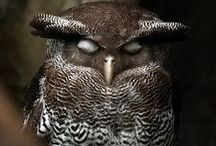 Owls - Búhos