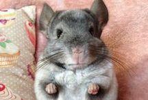 Sweet Chinchillas / Ciekawe zdjęcia szynszyli :)