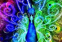 Peacock / Pauwen