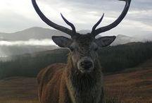 Deers & Stags