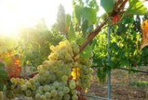 Winery Son Julia / Vineyards and wine Son Julia #Chapren wine #Chardonnay #Prensalblanc