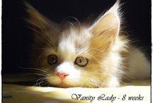 Moon and Sun Maine Coon / Allevamento amatoriale Riconosciuto Anfi di gatti di razza Maine Coon