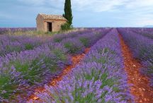 Lavender's blue, dilly dilly, lavender's green,     When I am king, dilly, dilly, you shall be queen. / Lavender...the flower, the color, the scent...all things lavender colored / by Andrea Stieff