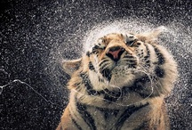 Fierce Beauty / Preserving the World of Wild Cats -  http://www.mandalaeartheditions.com/Fierce-Beauty-Preserving-World-Wild/dp/1601090617