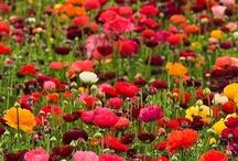 poppies / by Jacinta considine