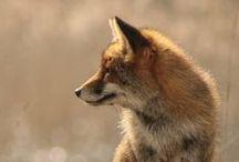 Los Zorros! / cuz I can never have enough fox pics  :D