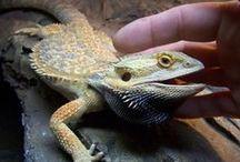 Pet Dragonz -- Pogona vitticeps / Life with Bearded Dragons -- housing, feeding, bathing, sunning, breeding, hatching, nurturing, enjoying these beautiful exotic reptile pets!