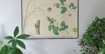 Botanical Prints | Botanical Interiors | Tropical Interiors / botanical prints for the home, framed leaf prints, victorian botanic prints, vintage framed pictures of plants, botanical posters, antique posters, plant posters, framed pictures of plants, leaf prints