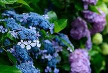 Heavenly Hydrangeas / by Deborah G.