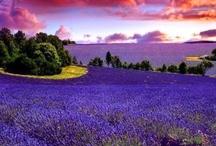 Luscious Lavender / by Deborah G.