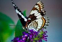 Welcome!!  Scroll Through My Virtual  Butterfly Garden   / Butterfly Gardening in Central Texas Zone 8b / by Deborah G.