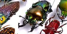 Beautiful Beetles / This board celebrates the glorious beauty of beetles. They are another example of nature's eye candy.