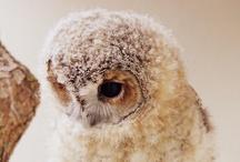 Owls Owls Owls.