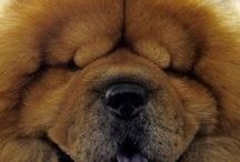 chow chow / ο σκυλος μου!!!