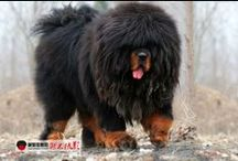 tibetian  mastif!! / θιβετιανα μαστιφ!!