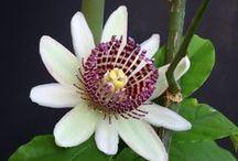 passiflora-magnolia-crocus!!!! / τα αγαπημενα μου λουλουδια!