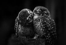 owl / κουκουβαγιες