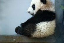 koala -- panda / κοαλα--παντα