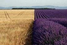 French style lavender