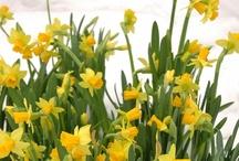 Narsissien loistoa