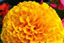 Samettikukan oranssia
