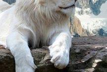 leoni e tigri bianchi