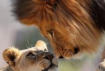 LIONS!!!