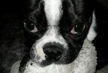 Boris the Boston / Boston terrier