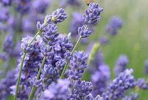 COLOUR lavender