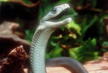 Animals : Deadly Creatures / Deadly creatures (and particularly venomous snakes) fascinate me.