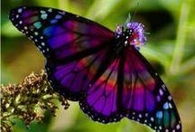 Animals : Butterflies