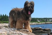 Briard / Devoted and faithful, the Briard is a loving and protective companion. He is independent, intelligent and self-assured, but is also willing to please and eager to serve as a partner in adventure. He can be reserved with strangers. He tends to stay at home and may attempt to keep the family's children home as well!  / by Dog Lover