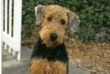 Airedale Terrier / by Dog Lover