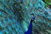 Animals : Peacocks