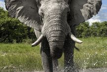 Animals : Elephants (African) / I love elephants, specifically African elephants.  I hope my great grandchildren will still be able to see them in their natural habitat before they are all lost to poachers and idiotic trophy hunters. Please feel free to pin and share as many as you like - hopefully action will be taken to keep our elephants alive and away from poachers.