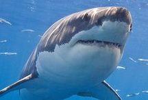 Animals : Sharks