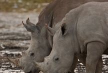 Animals : Rhinos