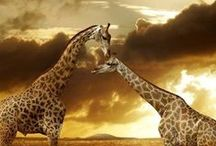 Animals : Giraffe
