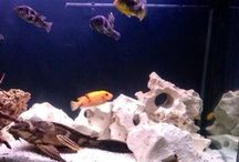 Malawi aquarium / My hobby - Malawi Aqua and information aroun to inspire myself to be better.