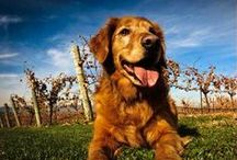 Winery Dogs / These are the dogs who guard the vines at your favorite wineries: it's puppy love!