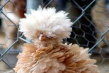Chickens, ducks and such / all about chickens - can I have them in the backyard? / by Edith Jasser Realtor-Chicago
