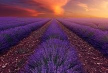 Lovely Lavender / Lots of lovely lavender... in fields, in bunches, in bouquets!