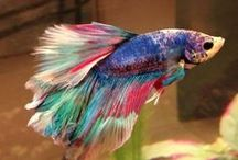 Betta fish - 416 pins / Betta fish - betta - fish - betta splendens - 416 fish