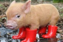 Pigs are too cute / I love pigs there so adorable