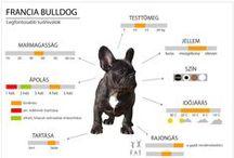 Francia bulldog infografika / www.kutyatnevelunk.blogspot.hu