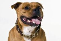 Dog Collars Owners / Handmade Leather Staffordshire Bull Terrier Collar - Dog Collars Owners