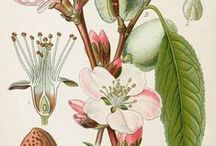 Botanical / Vintage florals, botanical drawings and beautiful blooms.
