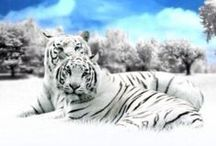 AMAZING WILDCATS / PHOTOS OF WILD CATS, WHETHER IT BE THE WHITE TIGER, BENGAL TIGER, GOLDEN TIGER, SOLID WHITE TIGER, LIONS, CHEETAHS, PANTHERS ETC. BUT MY FAVORITE IS THE WHITE TIGERS.