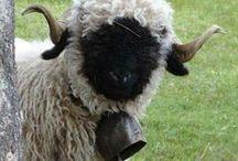 Baaah / All things sheep
